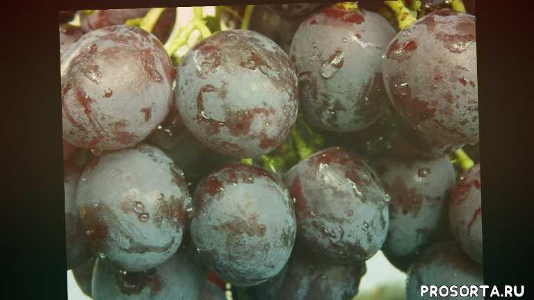 купить саженцы винограда рошфор в контейнерах, черенки винограда рошфор купить, саженцы винограда рошфор, купить саженцы винограда рошфор, виноград рошфор