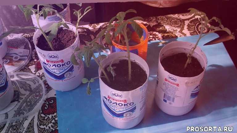 подкормка для томатов, этой внекорневой подкормки!, рассада томата, рассада томатов, посев томатов, рассада помидор, выращивание помидор, вянут листья