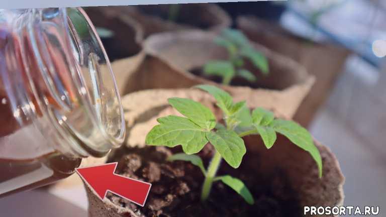 первые подкормки рассады, первая подкормка рассады, подкормка рассады помидор, подкормка рассады +в домашних условиях, подкормка рассады томатов, подкормка рассады перца, подкормка рассады, подкормка