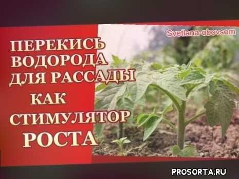 svetlana-obovsem, урожайныйи огород и сад, про сад и огород, применение перекиси, перекись водорода для растений, зелень, цветы, баклажан