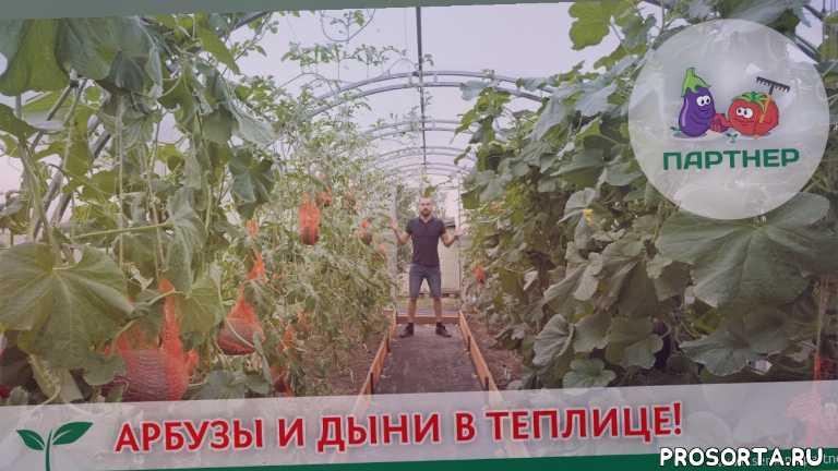 дыни в теплице, выращивание дыни, арбузы на севере, как выбрать арбуз, вырастить арбузы в теплице, выращиваем арбузы сами, арбуз, во саду ли в огороде