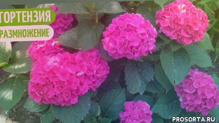 размножение многолетников, садовые цветы, многолетние цветы, многолетние растения, галина жить в селе, цветы, огород, дача