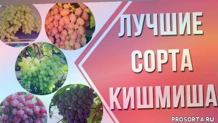удачный участок, лучшие сорта видео, лучшие кишмиши, лучшие сорта кишмиша в украине, виноград, кишмиш, сорта винограда, выращивание винограда