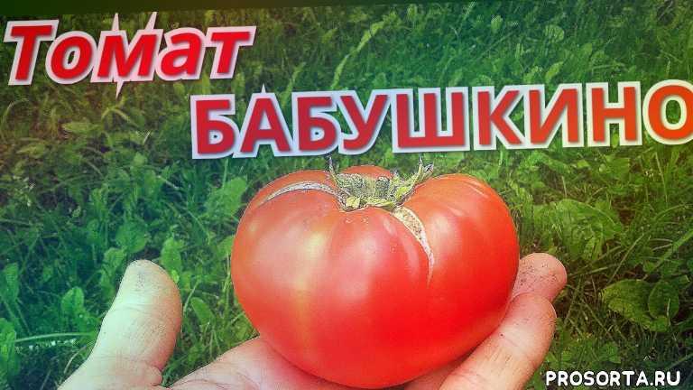 бабушкино, крупноплодные томаты, томаты2020, томаты в июле, обзор томатов, гибриды томатов, сорта томатов, томаты в теплице