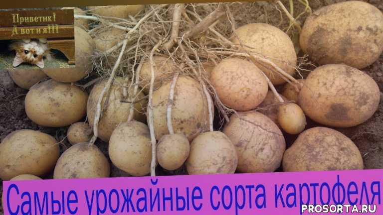 сорта, обзор, уход, выращивание, сорт картофеля розара, самые лучшие, лучшие сорта, ранние сорта картофеля
