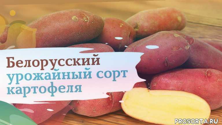 картофель, картофель палац, дача, огород, сад, сады россии