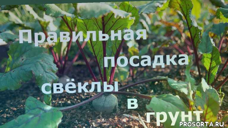 как посадить свеклу в грунт, как посадить свеклу, посадка свеклы, свекла, сажаем свёклу, свёкла в грунт, как посадить свёклу в грунт, как правильно посадить свёклу