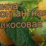 Малина ремонтантная Абрикосовая (abrikosovaya) ? обзор: как сажать, саженцы малины Абрикосовая