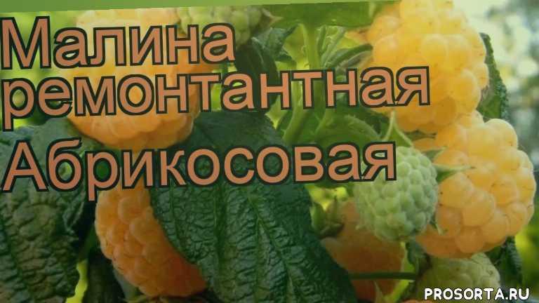 малина абрикосовая обзор как сажать, лиственные кустарники, кустарники, ремонтантная малина абрикосовая обзор как сажать, ремонтантная малина абрикосовая обзор, ремонтантная малина, ремонтантная малина абрикосовая, абрикосовая обзор