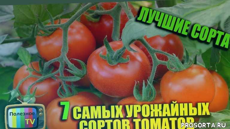 помидор, томат, сорт, томат сорт, сорт помидор, семена томатов урожайных сортов, урожайные сорта помидор, томат видимо невидимо