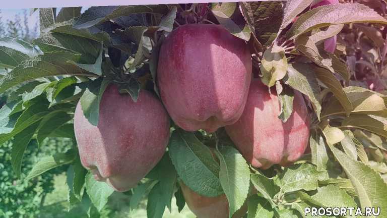 appie-tree red chief, красные сорта яблок, максим гаранжа, яблоневый сад, обработка яблонь, уход за яблоней, сад, сорт яблок ред чиф камспур