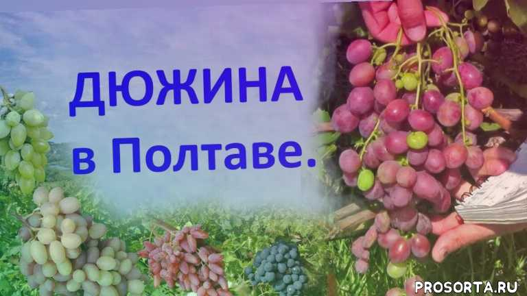 отзыв о винограде, вкусный виноград, хороший виноград, виноград китайченко, сорт винограда дюжина, виноград дюжина, виноград 2018