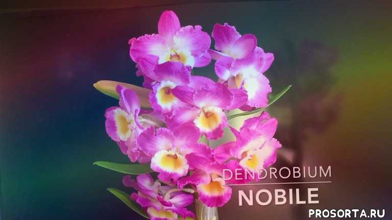 георгий горячевский, орхидея дендробиум нобиле, орхидея дендробиум, дендробиум, дендробиум нобиле, дендробиум уход полив, орхидея дендробиум уход фото, орхидея фото название