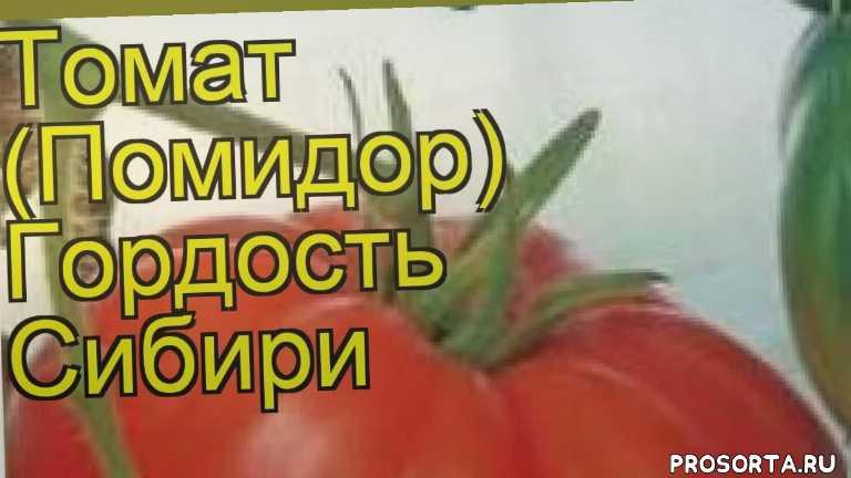 томат обыкновенный гордость сибири отзывы, где купить семена томат обыкновенный гордость сибири, купить семена томата гордость сибири, семена томат обыкновенный гордость сибири, видео томат обыкновенный гордость сибири, томат обыкновенный гордость сибири описание характеристик, краткий обзор томат обыкновенный гордость сибири, томат обыкновенный гордость сибири описание