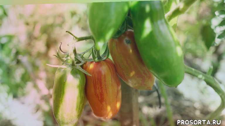 томаты для теплиц, томаты для открытого грунта, сорта помидор, 4k video, сад удачи, сорта томатов, помидор, томат