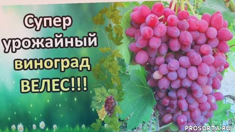 сорта винограда, сорт описание, сад и огород, сад, сад огород виноград, татьяна огородница, урожай, велес созревание
