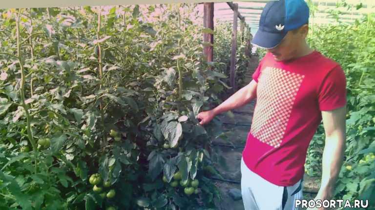 новинка 2017 года, узбекский томат, азербаджанский томат, кривянский томат, как выращивать томат, томат сегодня, рынок томата, востребованный томат