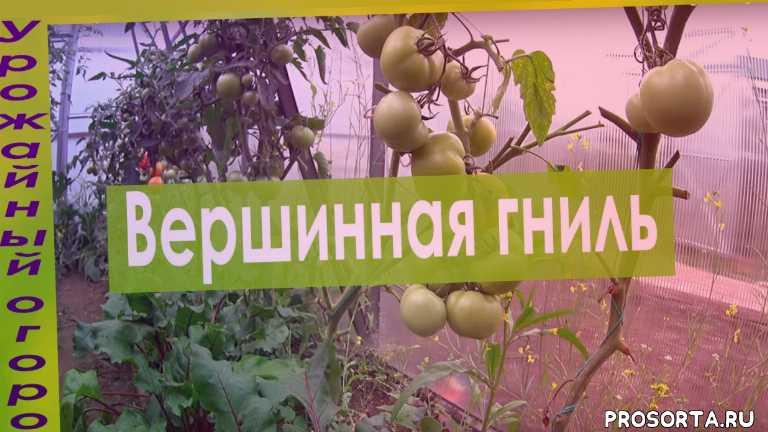 сад и огород, дача, грядки, вредители, теплица, пасынкование томатов, томаты в июле, как лечить вершинную гниль