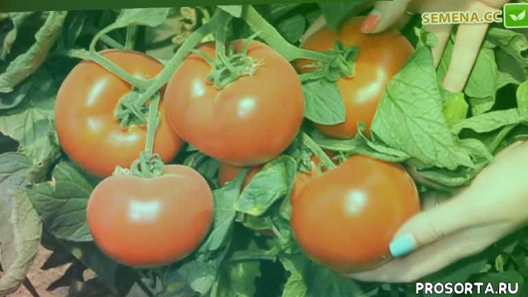 nunhems, нюнемс, аксіома, аксиома, помідор, помидор, томат, насіння томату