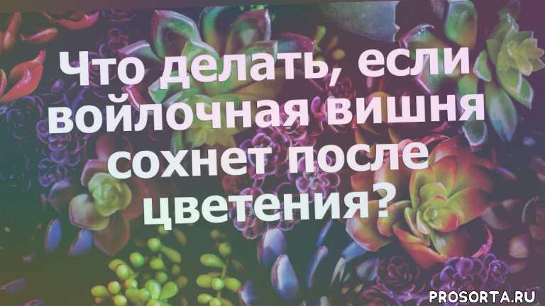 не цветет вишня, после цветения, сохнет войлочная вишня, войлочная вишня, вишня, выращивание, размножение, огородные культуры