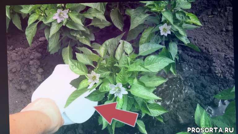 удобрение для перца цветение, как вырастить крупный перец, плодоношение перца подкормка, подкормка перца +во время цветения, подкормка перца, лучшие подкормка для перца, подкормка для перца, перец плодоносит подкормка
