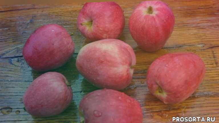 яблони и болезни, яблони уход, какие яблони посадить, рейтинг сортов яблонь, колоновидные яблони, зимостойкие яблони, сорта для регионов, яблоки на любой вкус