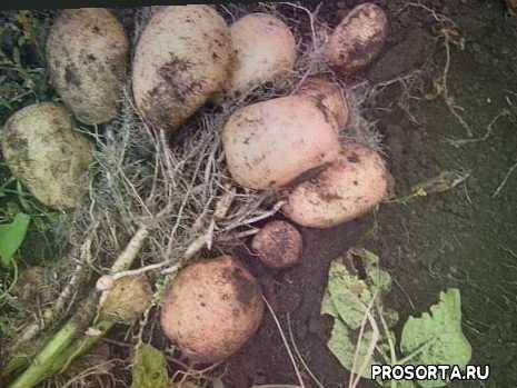 земледелие, плодородие, плодородный, большой урожай, сорт картофеля, сорта, нина, дача
