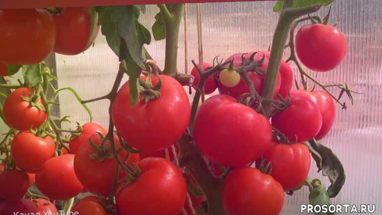 помидоры уход, обзор томатов, обзор, томаты для теплиц, томаты для открытого грунта, ранние томаты, сорта томатов, лучшие томаты