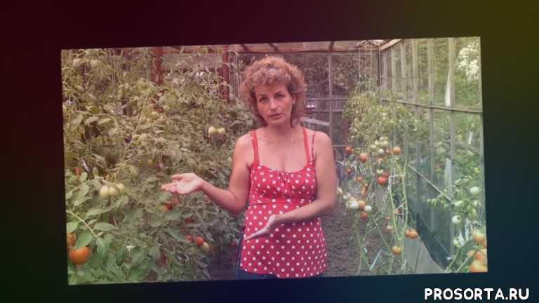устойчивые сорта, устойчивые к фитофторе, помидоры, против фитофтороза, томаты устойчивые к фитофторозу, все о томатах, сорта томатов