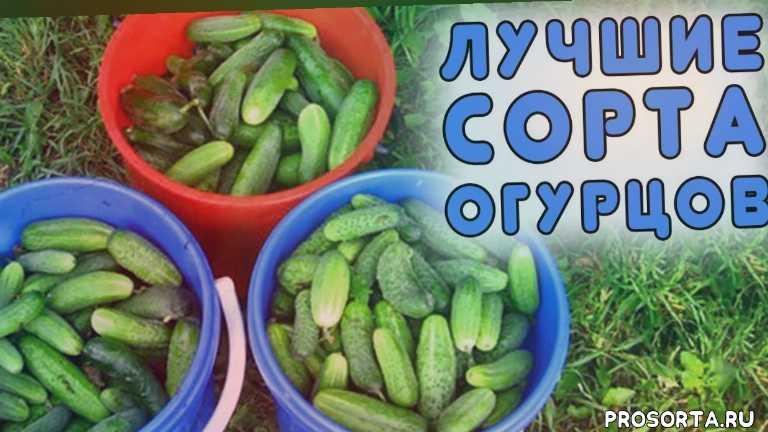 лучшие сорта огурцов на 2019 год, огурцы какие семена выбрать, огурцы какие посадить, огурцы бочковые, огурцы в пакете, огурцы малосольные, огурцы на зиму, сорта огурцов