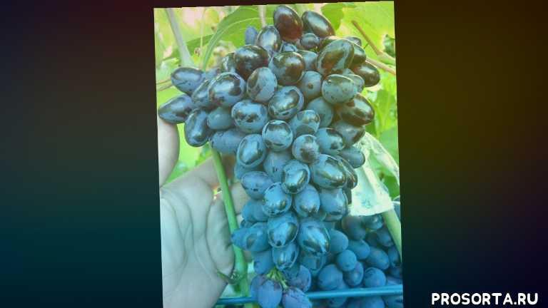 заказать саженцы винограда атос в контейнерах, черенки винограда атос купить, саженцы винограда атос купить, саженцы винограда атос, купить саженцы винограда атос, виноград атос