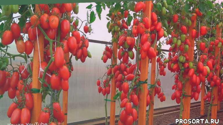 важно, полезно, интересно, урожайный огород, какой сорт самый лучший, помидоры, семена, новинка