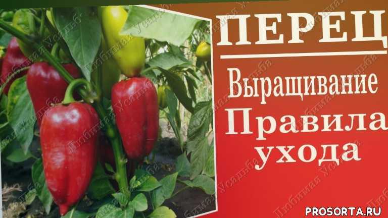 как выращивать перец, перец посадка, как сажать перец, сладкий перец, выращивание болгарского перца, правильный уход за перцем, полив перца, перец полив