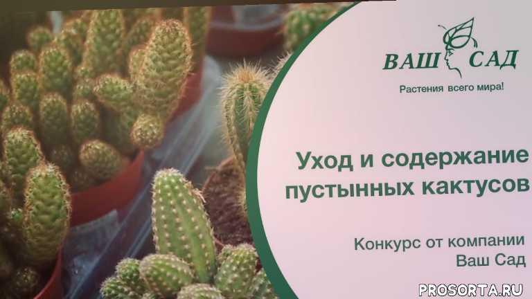 как часто поливать кактус, кактус цветени, пустынные кактусы дома, сукуленти, полив кактусов зимой, секреты пересадки кактуса, период покоя кактусов, полив кактусов