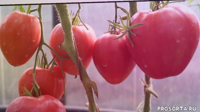 томат, сорт, фото, характеристика, отзывы, описание, сердцевидный, розовый