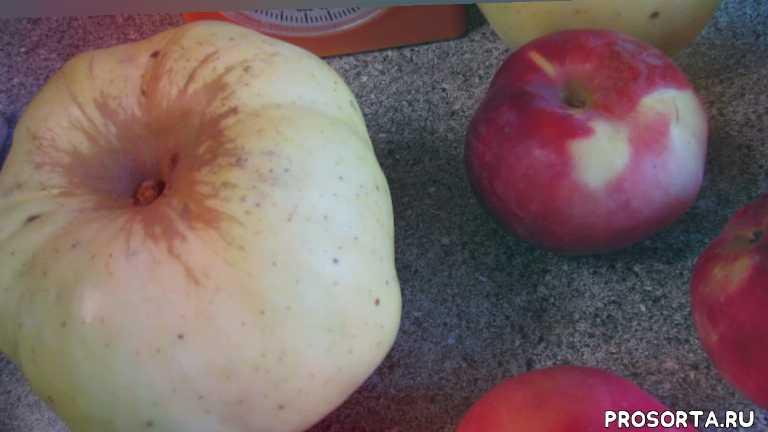 богатырь, яблоки, перепёлкино