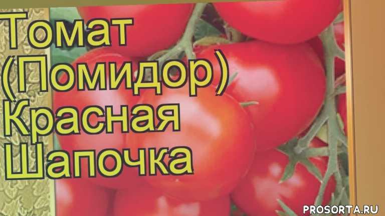 томат сортовой красная шапочка посадка, томат сортовой красная шапочка отзывы, где купить семена томат сортовой красная шапочка, купить семена томата красная шапочка, семена томат сортовой красная шапочка, видео томат сортовой красная шапочка, томат сортовой красная шапочка описание характеристик, краткий обзор томат сортовой красная шапочка