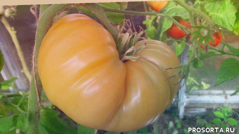 выращивание томатов, урожайные томаты, сорта томатов, дача, огород, сад, топсад, томатыбизон оранжевый