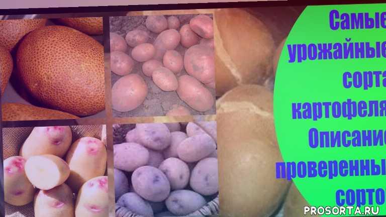 лучшие сорта, как вырастить картофель, семенной картофель, посадка картофеля, выращивание, сорт картофеля, дача, огород