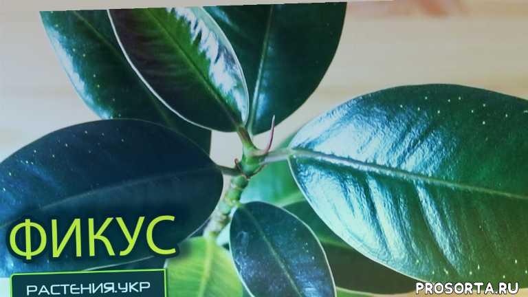 фикус каучуковый, фикус карликовый, фикус в доме, фикус уход в домашних условиях, как размножается фикус, как размножить фикус, каучуконосный фикус, болезни фикуса