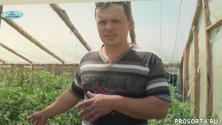 как лечить помидоры, помидоры, томаты, фитофтора