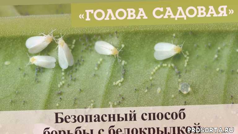 красноярск, афонтово, 3 апреля, 2019, белокрылкой, борьбы с белокрылкой, безопасный способ, безопасный способ борьбы с белокрылкой