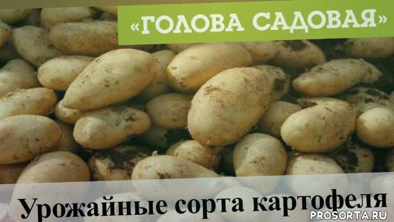 красноярск, афонтово, 22 ноября, 2019, картофеля, сорта картофеля, урожайные сорта, урожайные сорта картофеля