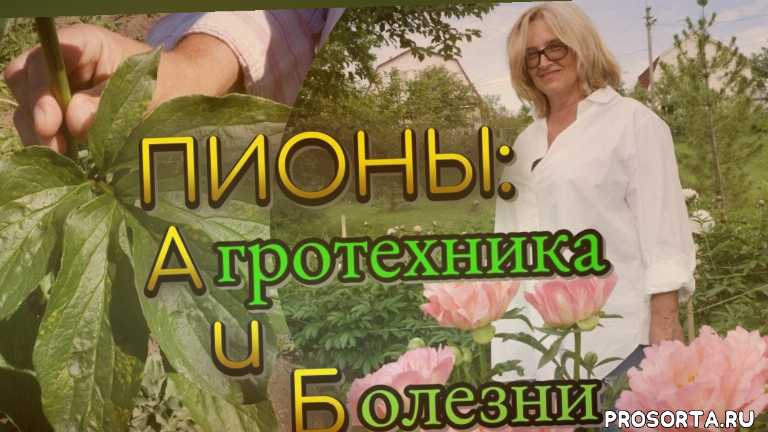 желтые пионы, пионы цветение, бутон пиона, цветущие пионы, пион древовидный, сорта пионов, пион гибридный, пионы агротехника выращивания