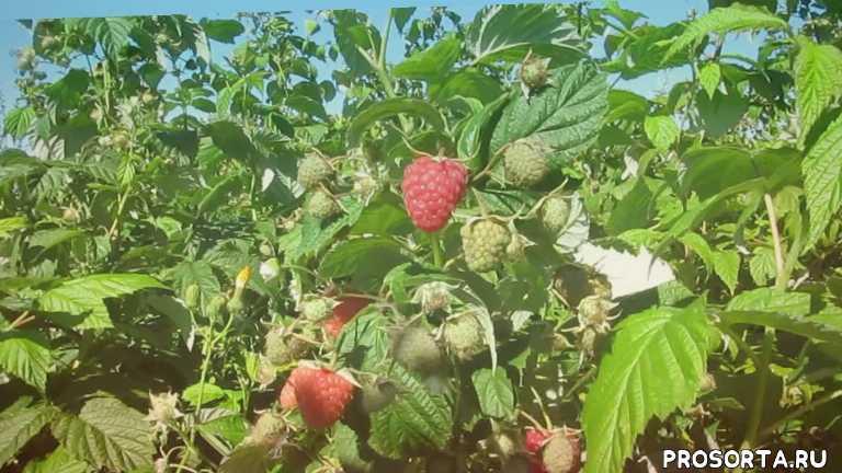 купить малину почтой, какой сорт малины самый урожайный, ягода- клубника сайт, алла чамата, ремонтантная малина в беларуси, купить саженцы малины в минске, самый урожайный сорт малины