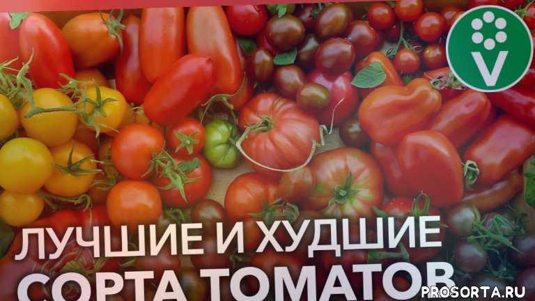 иван русских, procvetok, процветок, томат котя, томат волшебная арфа, томат мечта алисы, томат корнабель, самые урожайные томаты