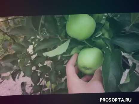 яблоки осенних сортов, яблоки крым, купить яблоки оптом, яблоки голден