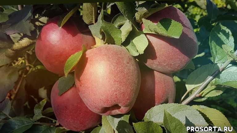 лучшие сорта яблок, черенки яблони, максим гаранжа, спуровые сорта яблок, зимние сорта яблок, сад, сорт яблока рихард, яблоко рихард