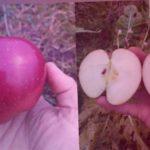 Яблоко сорта Глостер, Черный принц или что-то другое. Помогите определить сорт