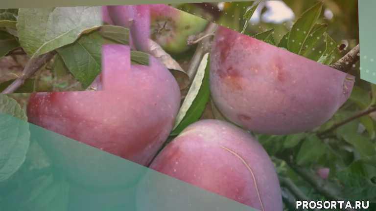 Яблоня Дарунок - обзор сорта яблонь